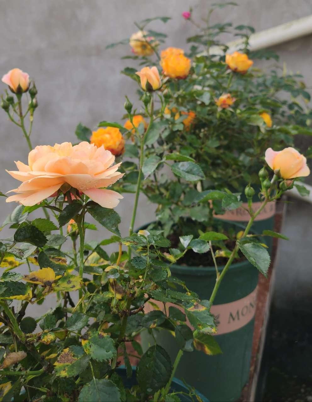 每天都照顾好它们,终于开出漂亮的花!