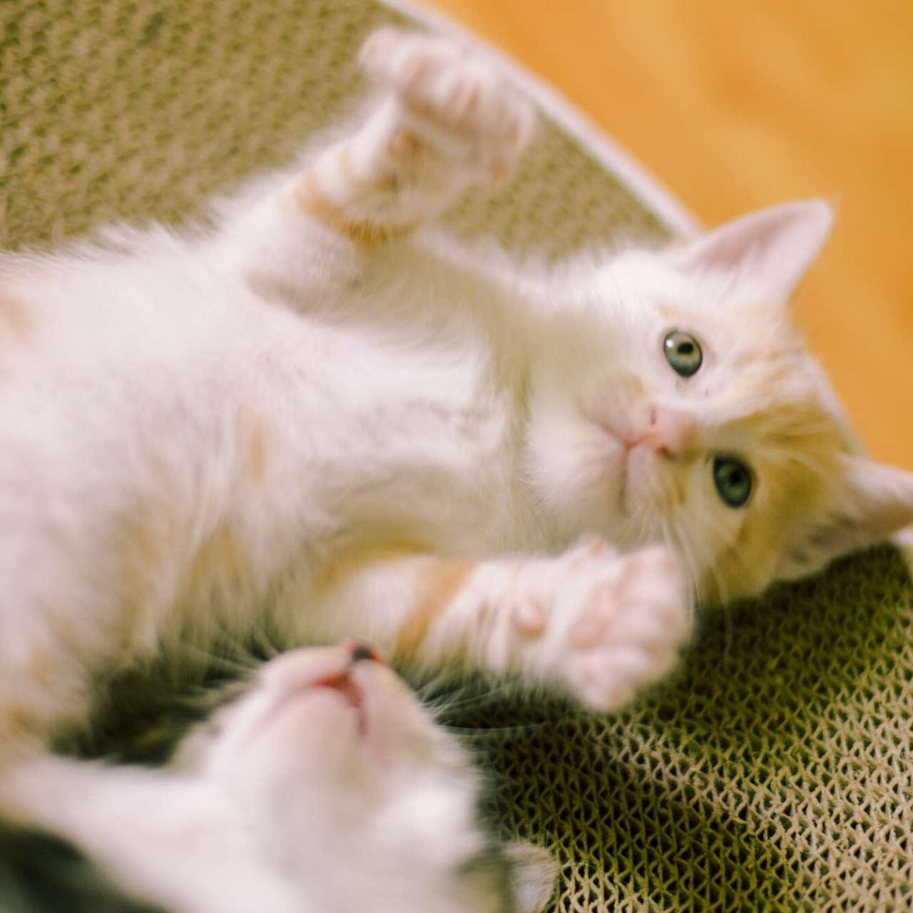 自家小猫找领养