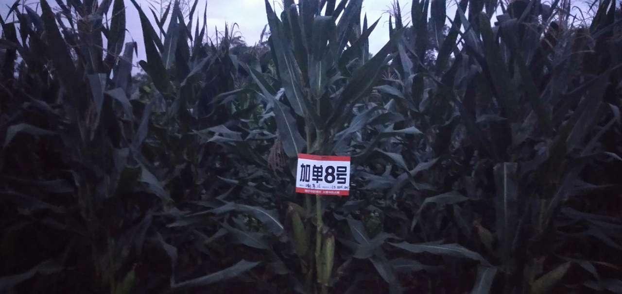 玉米地里挂起这种牌子是作什么用的?有知道的吗?