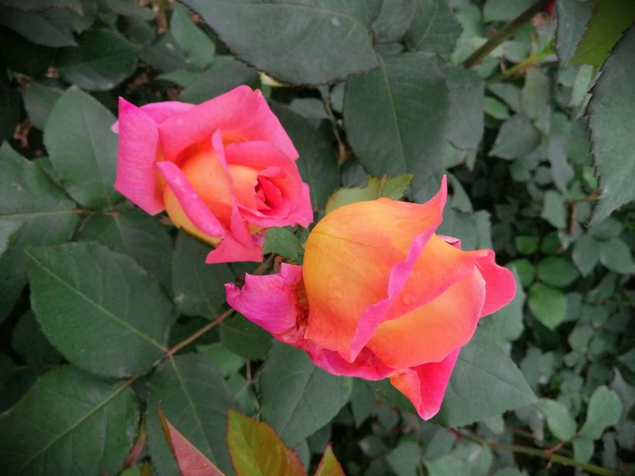 今天路过机场环城路,月季、蔷薇花开成一道美丽风景线